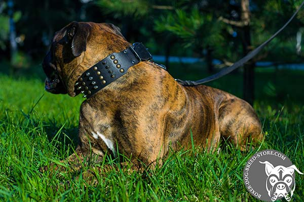 Wide Boxer collar with studs and spikes