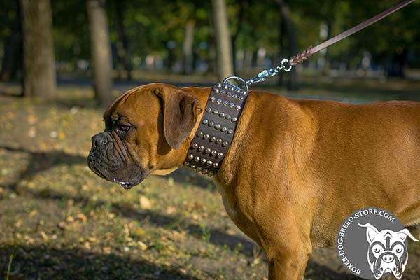 Wide Boxer collar for walking