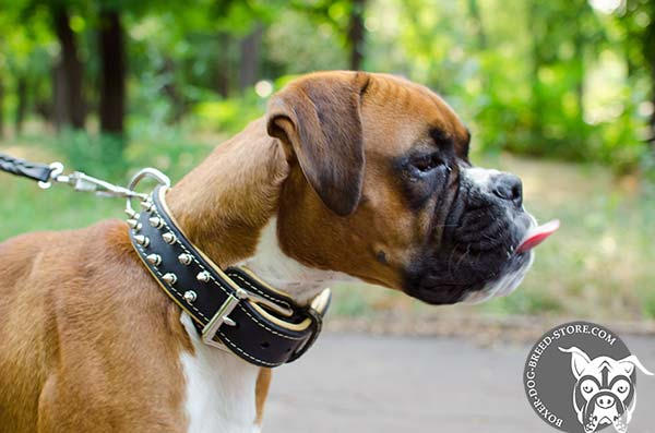 Boxer leather collar with non-corrosive nickel plated fittings for daily walks