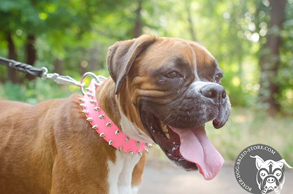 Spiked pink Boxer collar for walking