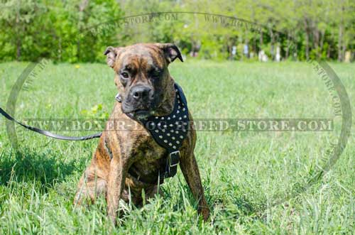 Exclusive Boxer harness