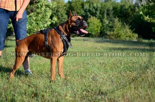 Boxer dog agitation harness