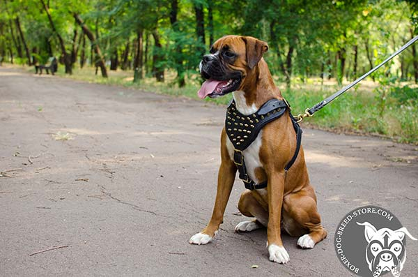 Leather Boxer harness with brass spikes