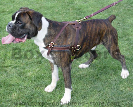boxer dog harness for dog trainig